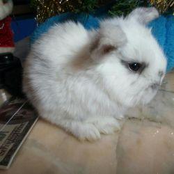Вислоухие карликовые крольчата
