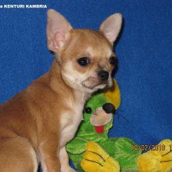 Chihuahua teenage girl