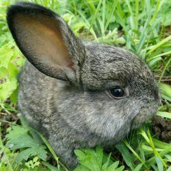 Tavşanlar - cins flanders ve diğerleri - 1.5 ay