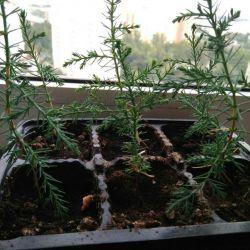 Φυτάρια πεύκων Κριμαίας