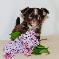 Mini Chihuahua Girl