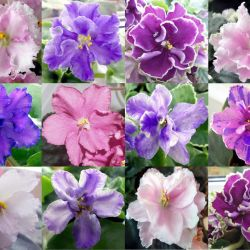 Beautiful Violets Babes Remaining Collections