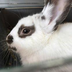 Rabbit de sex masculin cu cușcă
