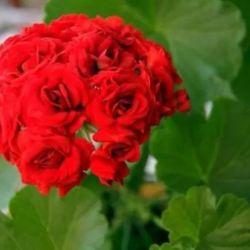 Gül Sardunya Kırmızı