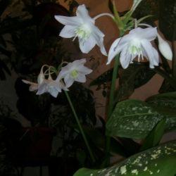 Цветок эухарис или амазонская лилия