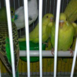 Κυματοειδείς παπαγάλοι