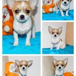 Chihuahua Mini Puppies