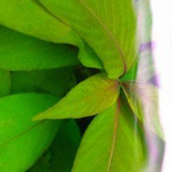Lemongrass ed