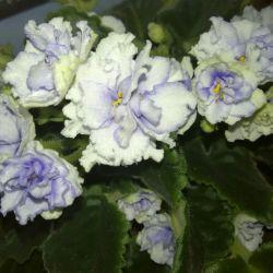 Цветок Фиалка Lyon's Spectacular