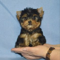 Yorkshire terrier girl mini