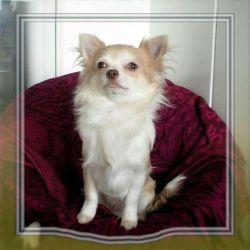 Purple Chihuahua boy