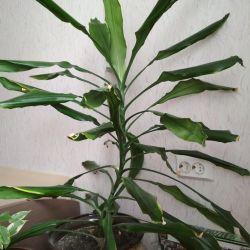 Пальма (отростки)