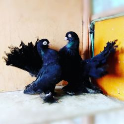 Pigeons - Stately and Chilli