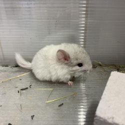 Chinchilla Belorozovy βελούδινο αρσενικό