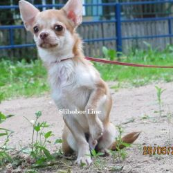 Puppy Chihuahua red color