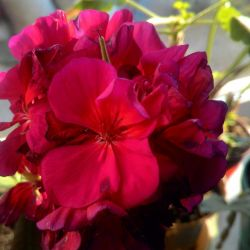 Geranium and others