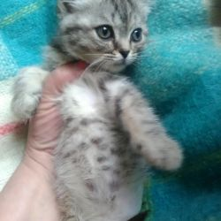 Yavru kedi Whiskas