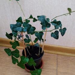 Ivy, heder