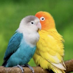 Διαμάντι κέντημα μωσαϊκό παπαγάλοι αγάπης