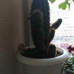 Luxury cactus