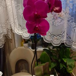 Blooming Phalaenopsis Orchids