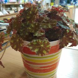 Begonia Bauer με ένα δοχείο