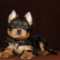Yorkshire Terrier Boy