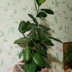 Ελαστικό φυτό