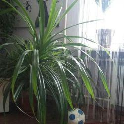Pandanus-vida palmiye ağacı