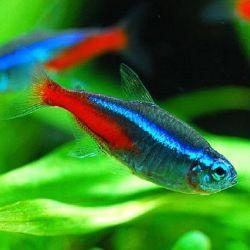 Ψάρια ενυδρείου μπλε νέον