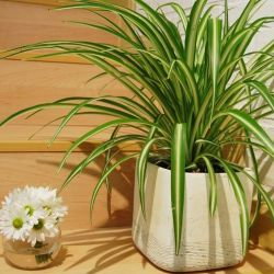 Chlorophytum (genç bitkiler)