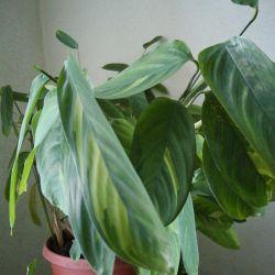 Цветок Ктенанта Лубберса(маранта)