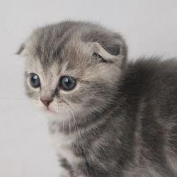 Χρώμα γάτας μπλε μάρμαρο, SFS a22 WCF