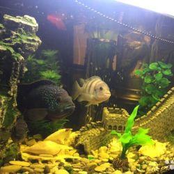 Pește din familia de cichlide, foarte frumos!