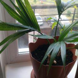 Palm of hovea