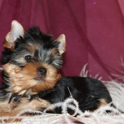 Yorkshire terrier girl a miracle in feathers