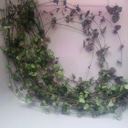 Tseropegiya ve Sinadenium / Euphorbia