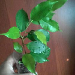 Ficus Ali, Neon, Moklama