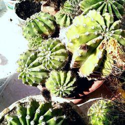 Kaktüs bebekleri Echinopsis