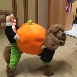 Costume for dogs with pumpkin