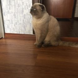 Scottish lop-eared cat for mating