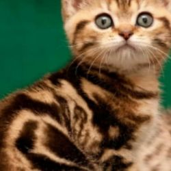 İskoç kedi