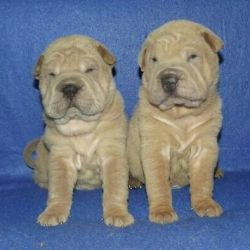 Изабелловые щенки Шарпея