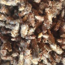 Muguri uscate de pin