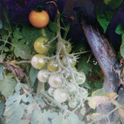 Rapunzel Seeds