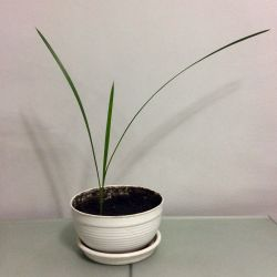 Date palm in a pot. Exchange.