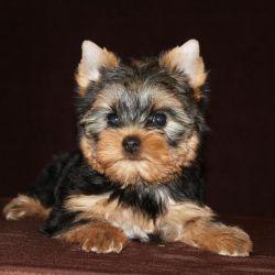 Yorkshire Terrier - girl