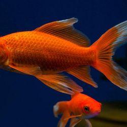 Ψάρια του Ενυδρείου Comet.