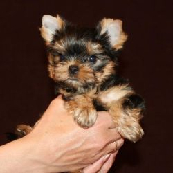 Yorkshire Terrier Barbie Mini Girl