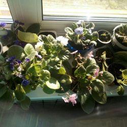 Violete în sortiment